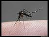 Nh mosquito