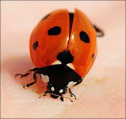 Vermont ladybug