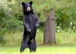 May day black bear