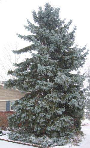 Blue_Spruce_Winter