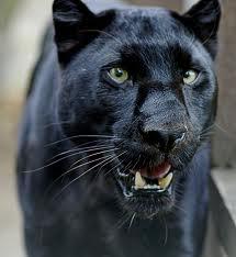 Balzac panther