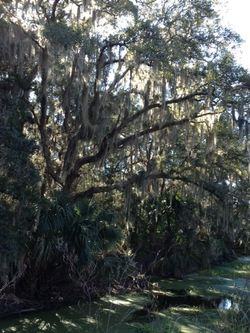 Fernandina Tree Spanish Moss