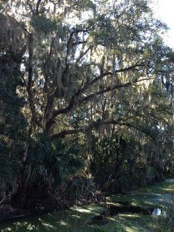 Fernandina Tree Spanish Moss