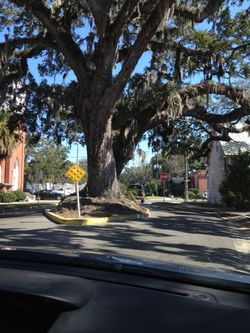 Fernandina tree in middle street