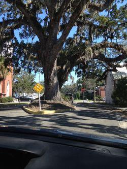 Fernandina tree in middle street