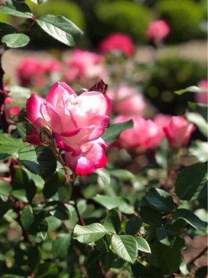 Nb rose