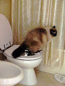 Toilet_cat_peeing