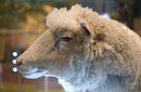 Dolly_the_sheep